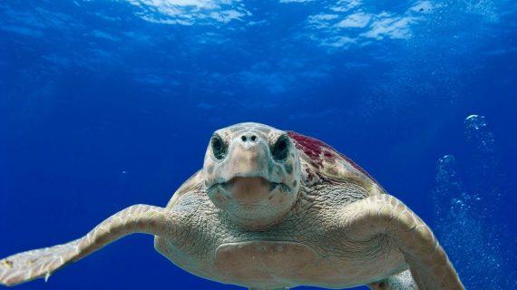 ¿Quieres participar en una jornada de liberación de tortugas en Tenerife?
