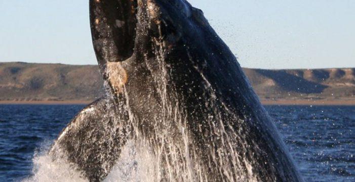 Buscan en aguas canarias la especie de ballena más amenazada del mundo