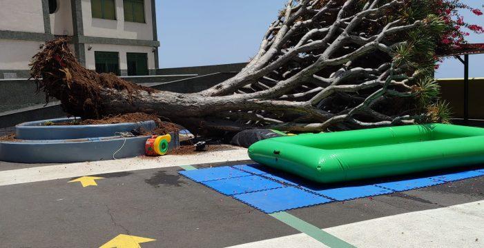 Trasplantarán el emblemático drago que se desplomó la semana pasada en Tenerife