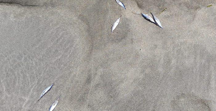 Aparecen peces muertos en la playa de Las Vistas