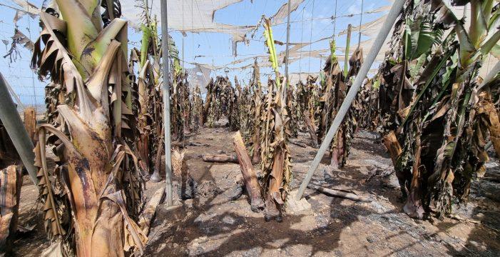 La organización del sector platanero posibilita la continuidad de las producciones dañadas en La Palma