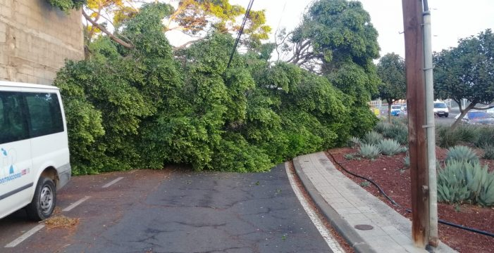 Cortan el tráfico en una calle de La Laguna al caer un árbol sobre el tendido eléctrico