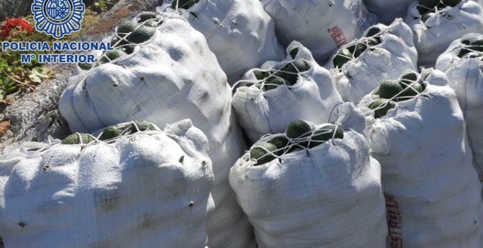 Pillados robando 100 kilos de aguacates en una finca en Tenerife