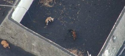 Recogen firmas para rescatar a los perros aislados por la lava en La Palma