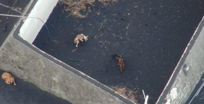 Piden permisos para rescatar en dron a los animales aislados por la lava en La Palma