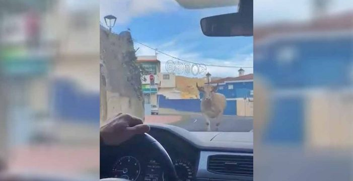 """""""¡La vaca!"""": el grito de una joven tras fugarse un toro por una carretera en La Laguna"""